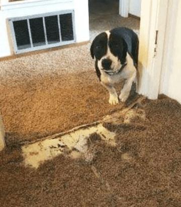Carpet Pet Damage Repair